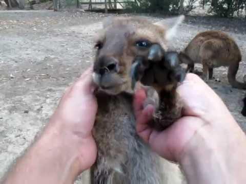 Petting A Baby Kangaroo