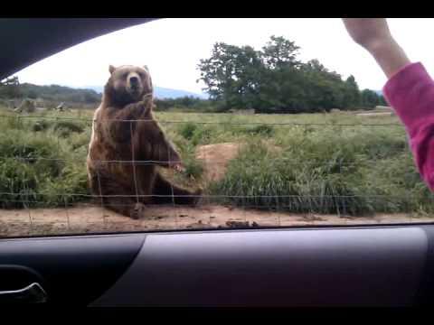 The Waving Bear