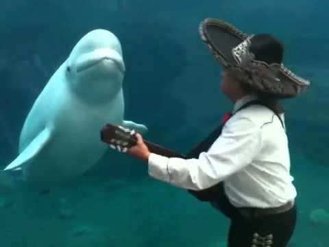Mariachi Serenades A Beluga Whale