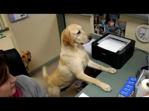 Yellow Labrador Trained To Give Receipts