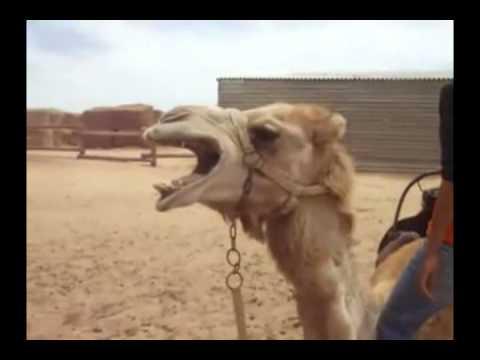 The Death Metal Camel