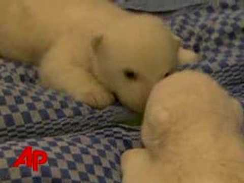Baby Polar Bear in the Mirror