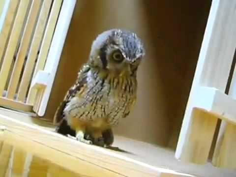 Cute Owl Hunts Invisible Prey