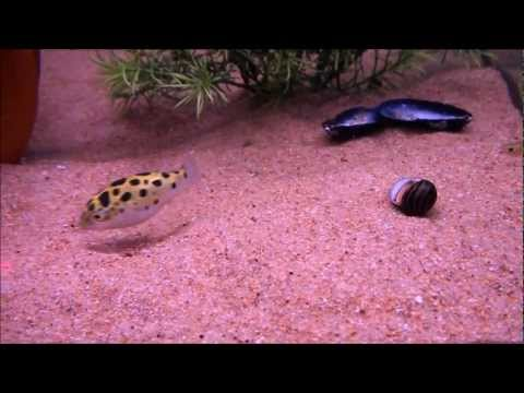 Puffer Fish Chases Laser