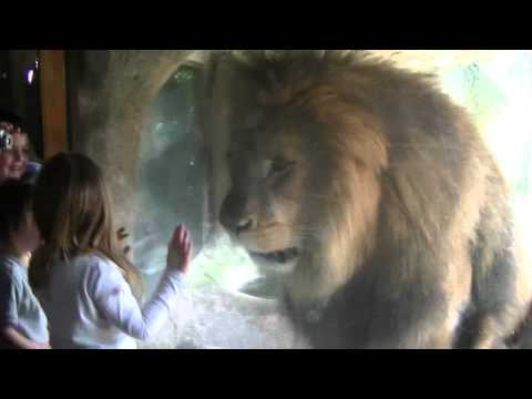 Girl Faces Down Gigantic Lion In Zoo