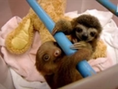 Baby Sloths Get Swaddled