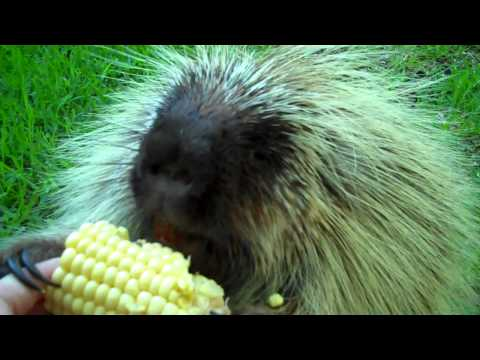 Porcupine Enjoys Corn