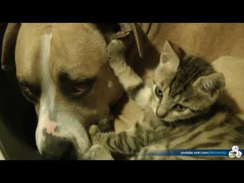 Gigantic Pitbull And Teeny Tiny Kitten