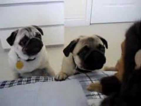 Pugs Freaked Out By Stuffed Monkey