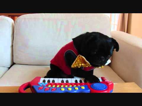 Pug Plays The Keyboard