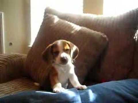 A Beagle Puppy Howl
