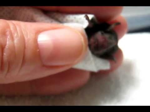 Rescuing A Baby Bat