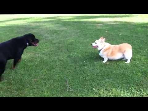 Corgi Versus Rottweiler