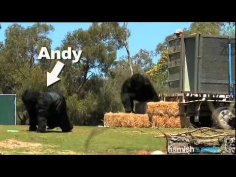 Going Gorillas