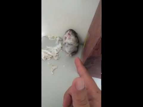 Adorable Hamster Shot! (With Happy Ending)
