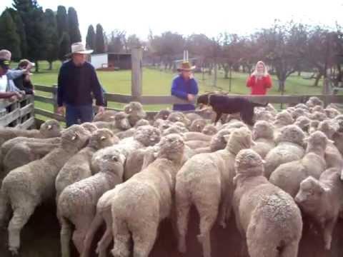 Enterprising Dog Walks On Sheep