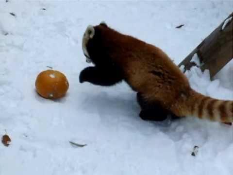 Red Panda Loves Pumpkin