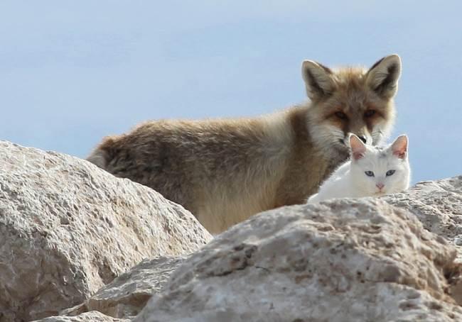 cat-fox-friends-10