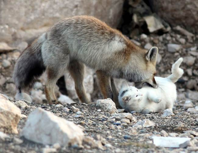 Cat and Fox Nuzzling