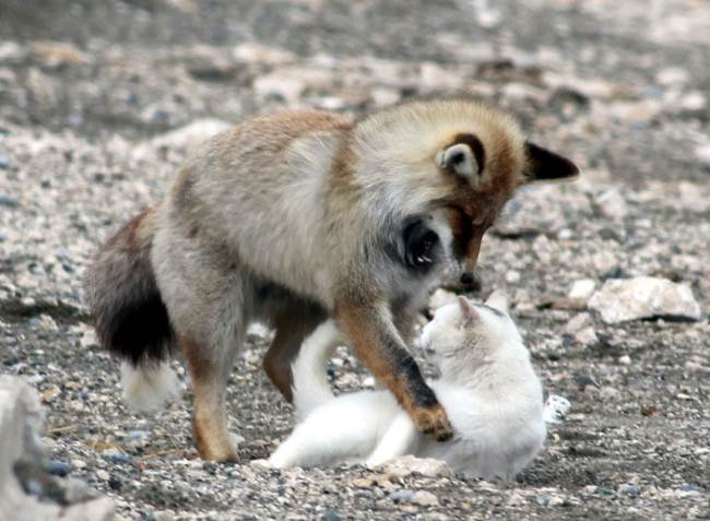 Cat and Fox Playing Picture