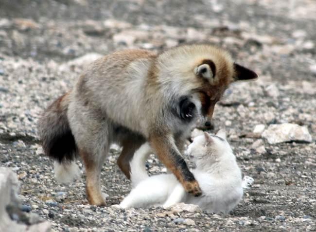 cat-fox-friends-4