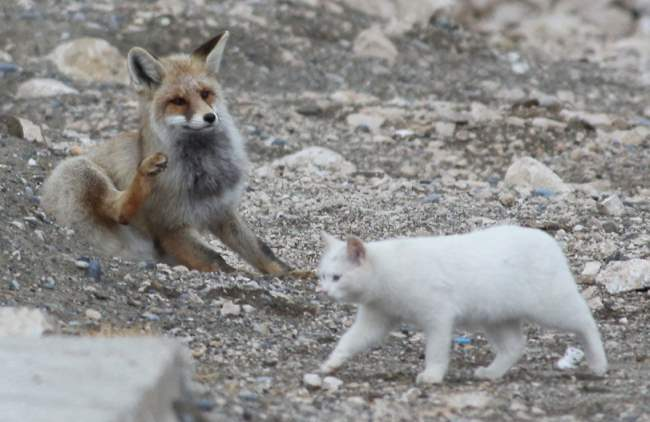 cat fox friends 5 When A Cat & Fox Become Friends