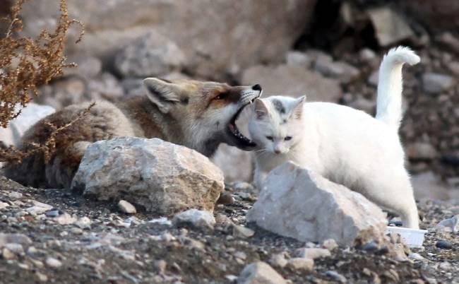 cat-fox-friends-6
