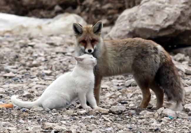 cat-fox-friends-7