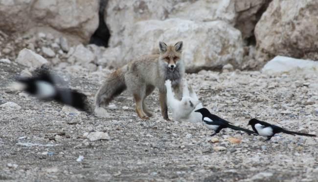 cat-fox-friends-8