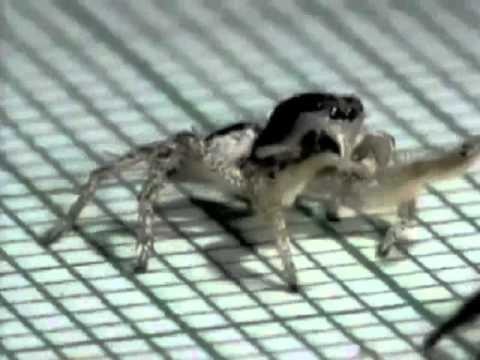 Video thumbnail for youtube video Cuba Pete, The Rumba-Dancing Spider