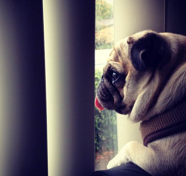 Cutest Pug Jack Looking Out Window