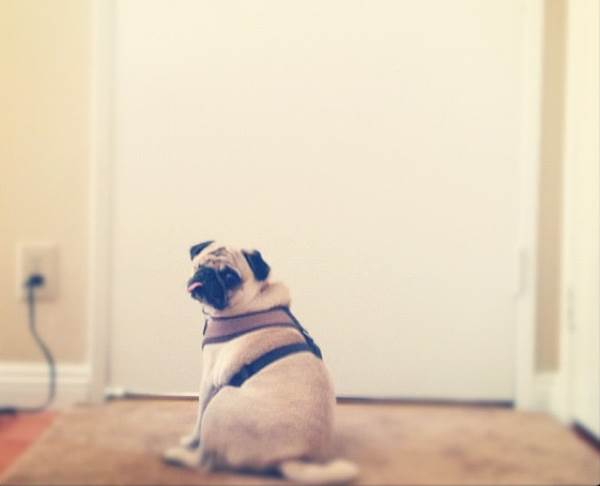 Instagram Pug Jack Sitting By The Door