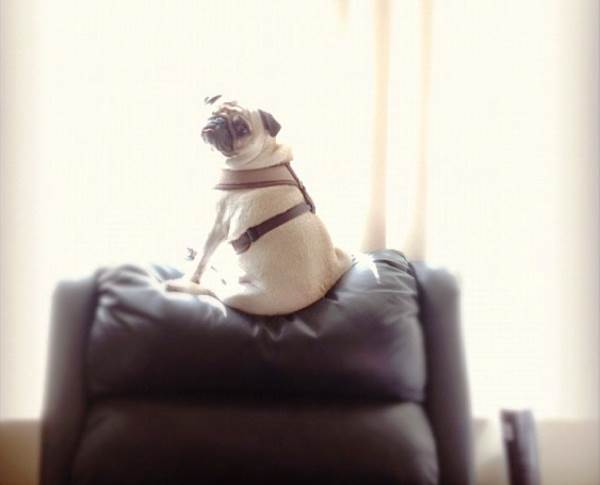 pirate-pug-jack-sitting-window