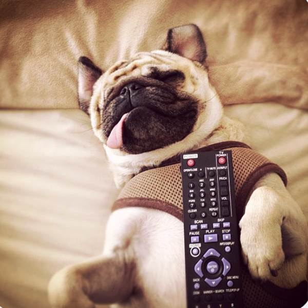 One-Eyed Pug Jack Sleeping With A Remote