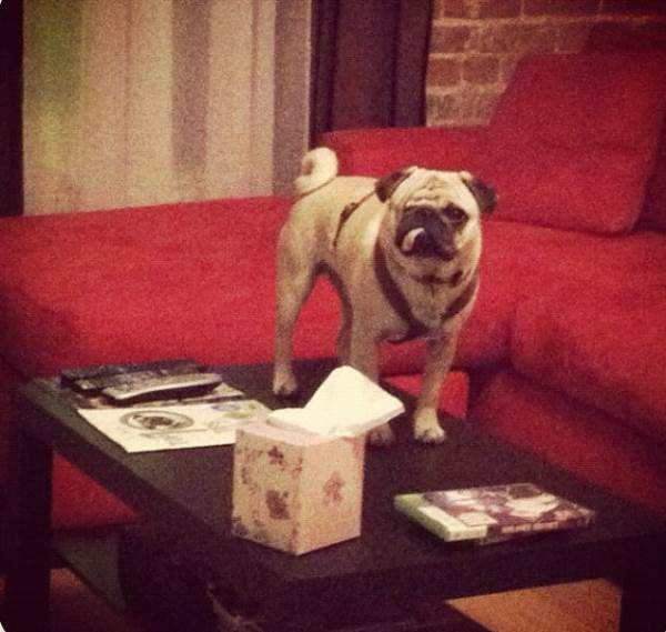 One-Eyed Pug Standing on a Table