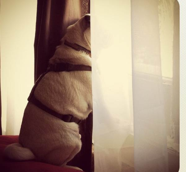 Pug Jack Looking out Window