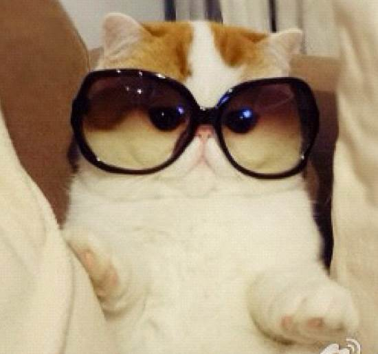Huge Sunglasses Funny  snoopy the definitive gallery of instagram s cutest cat