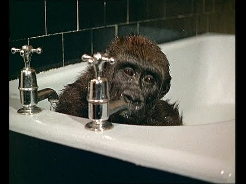 Baby Gorilla Takes A Bath