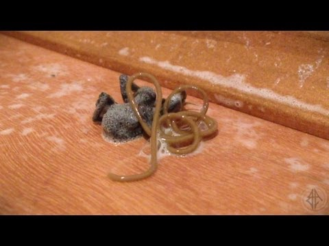 Parasite Emerges From Dead Spider