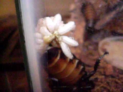 Madagascar Hissing Cockroach Gives Birth