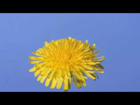 A Dandelion Time Lapse