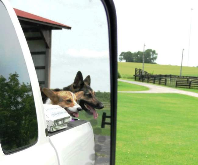 Corgi In Car Window Photograph