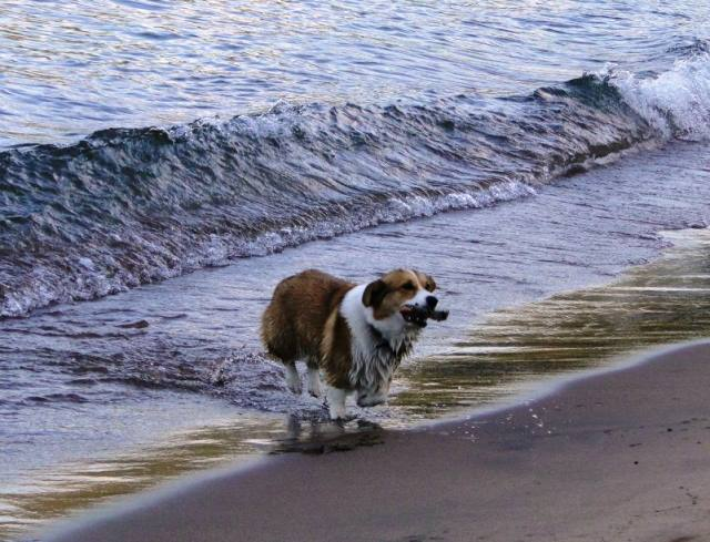 Corgi Plays Fetch In The Ocean