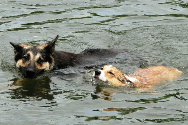 adventure-corgi-swimming