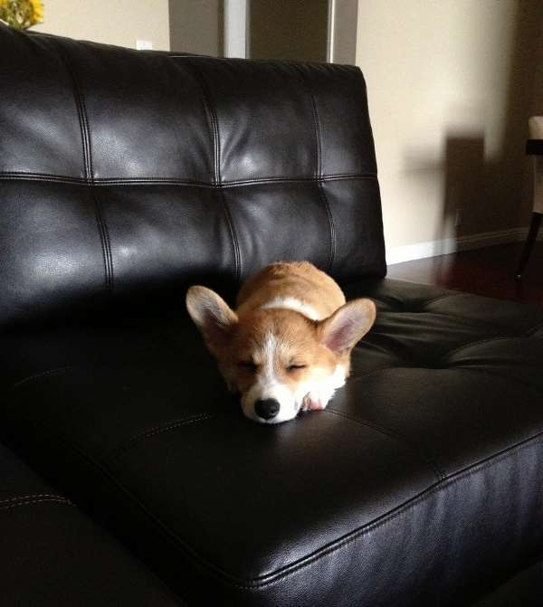 Adorable Corgi Pictures Asleep On Couch