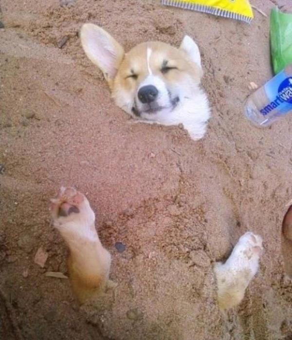 cutest-corgi-pictures-buried-in-sand