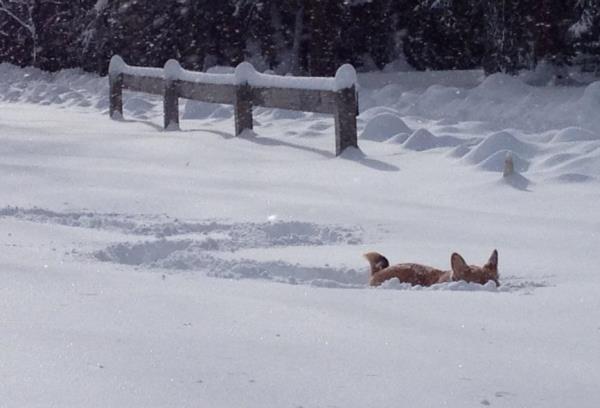 Corgi Buried In The Snow
