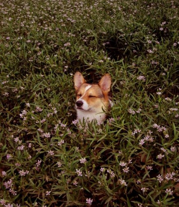 cutest-corgi-pictures-corgi-in-bush