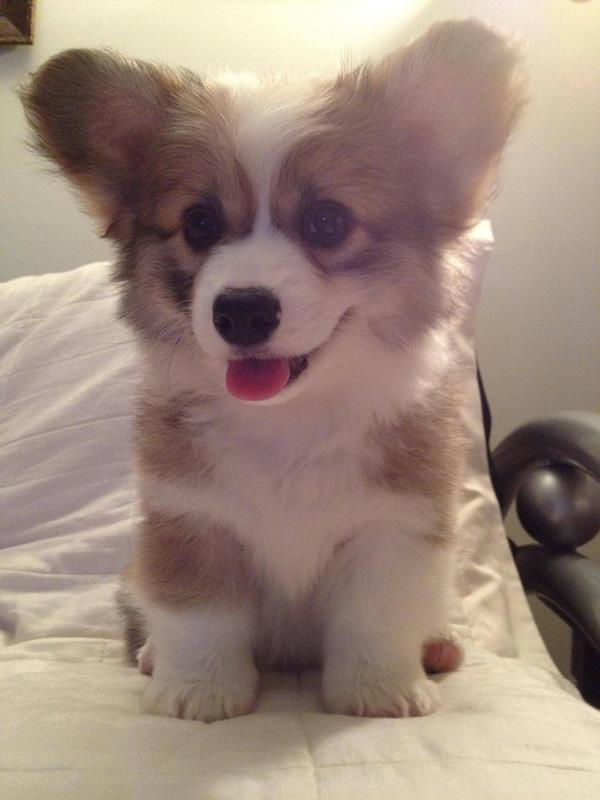Fluffy Corgi Puppy Ears