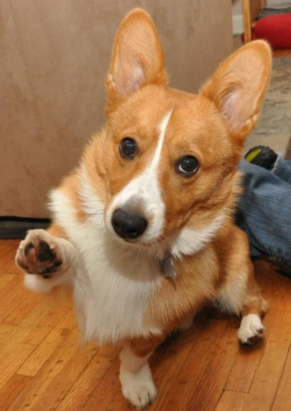 cutest-corgi-pictures-offering-paw